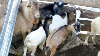 Photo of Police impound taxi cab conveying 5 stolen goats at Bawjiase
