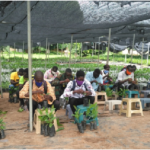 MoFA trains 30 on grafting of cashew seedlings