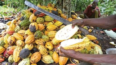 Photo of Ghana, Côte d'Ivoire cancel cocoa sustainability schemes run by Hershey